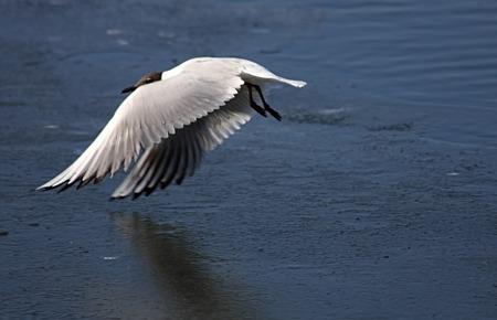 frozen lake: A gull flies above the frozen lake.