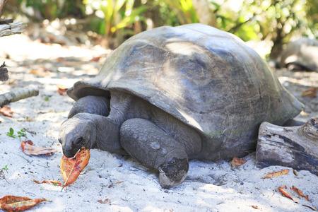 reptilia: Aldabra giant tortoise eats leaves. Island Curieuse in Seychelles. Stock Photo