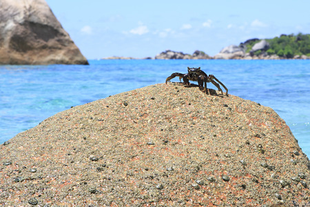 decapod: Crab on the granite boulders on the shore of the Indian Ocean. Island Praslin in Seychelles.