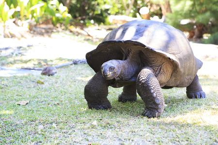 reptilia: Aldabra giant tortoise in island Curieuse. Seychelles. Stock Photo