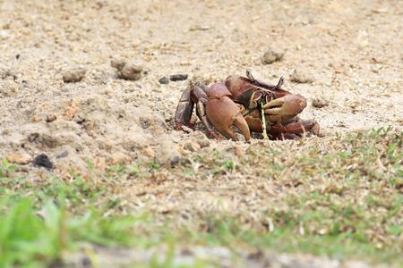 decapod: Land crab eating a blade of grass. Island Praslin in Seychelles.