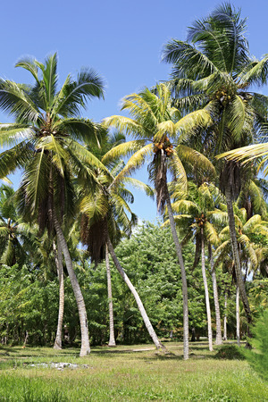 digue: Palm grove. Island of La Digue in Seychelles. Stock Photo