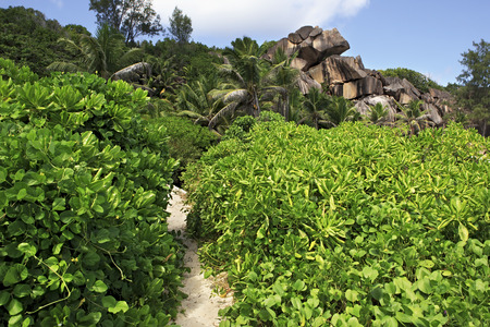 digue: Path in the mangroves on beach Grande Anse. Island of La Digue in Seychelles.