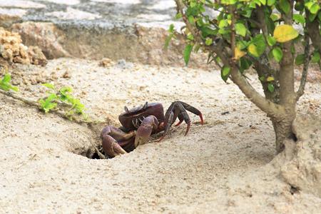 decapod: Land crab sitting near its burrow. Island Praslin in Seychelles.