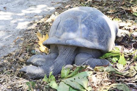 reptilia: Aldabra giant tortoise resting in island Curieuse. Seychelles.