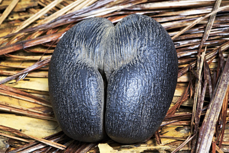 Double nut Coco de mer. Vallee de Mai Nature Reserve in Praslin. Seychelles. Banco de Imagens