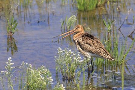 south western: Asian dowitcher. Birds of South Western Siberia. Stock Photo