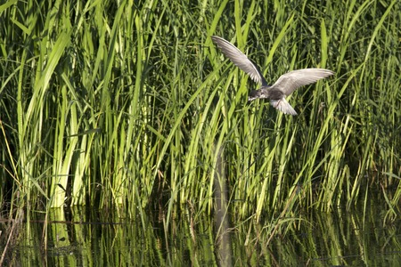 south western: Tern flying over the lake. Birds of South Western Siberia. Stock Photo