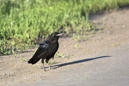 south western: Rook on the road. Birds of South Western Siberia. Stock Photo