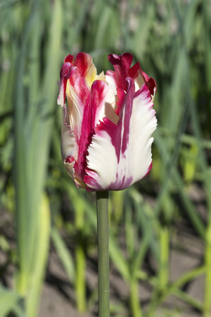 south western: Beautiful Dutch colorful tulip in the South Western Siberia.