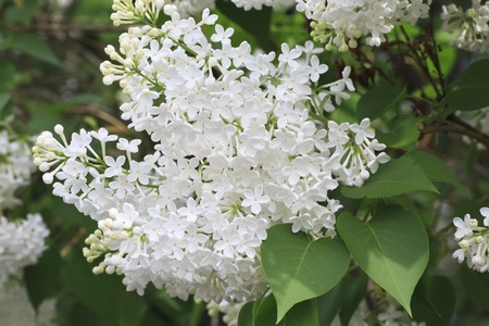 south western: Beautiful branch of white lilac. South Western Siberia