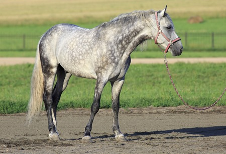 trotter: Beautiful young Meren gray suit breed Orlov Trotter.