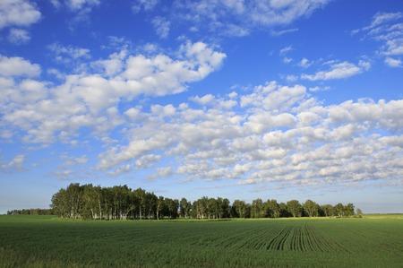 cirrus: Beautiful cumulus cirrus clouds over the field.