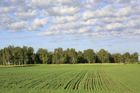 south western: Green field with seedlings of cereals. South Western Siberia.