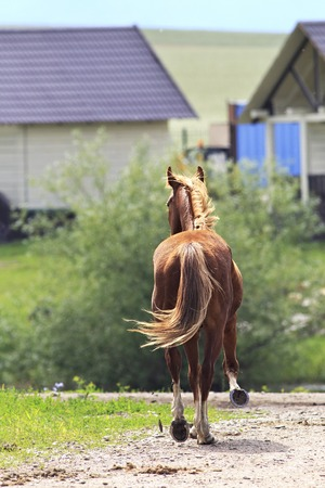bloodstock: Beautiful young red haired horse returning home.