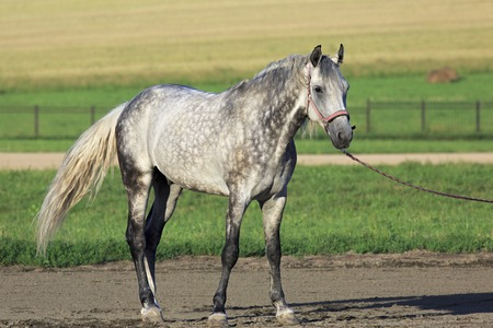 Beautiful young Meren gray suit breed Orlov Trotter.