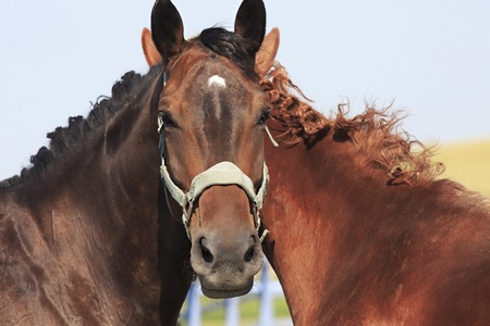 bloodstock: Horses head with two necks and four ears. Stock Photo