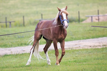 trotter: Beautiful young chestnut stallion breed Orlov Trotter.