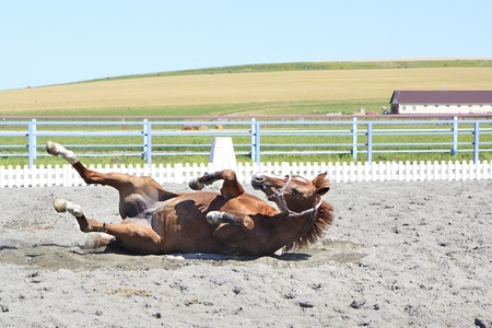 bloodstock: Young red haired horse lying in the sand.