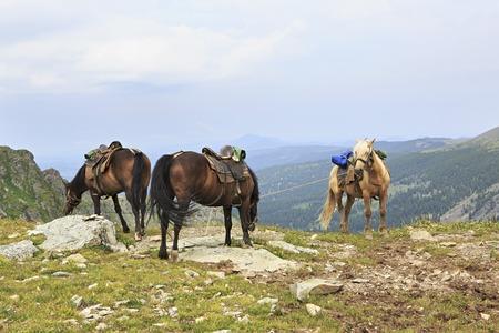 chemal: Saddled horse on top of ridge Iolgo. Republic of Altai.