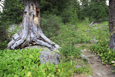 chemal: Path in the mountain mixed forest. Republic of Altai. Stock Photo