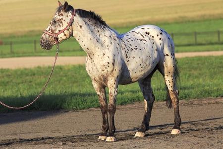 piebald: Altai native breed horses piebald or pied suit. Stock Photo