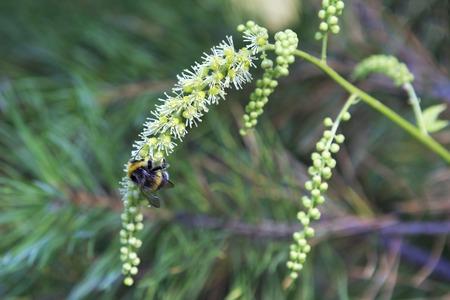 fanny: Fanny Shaggy striped bumblebee on a flower.