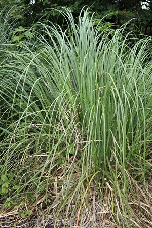 carex: Carex is a grassy plants in the family Cyperaceae