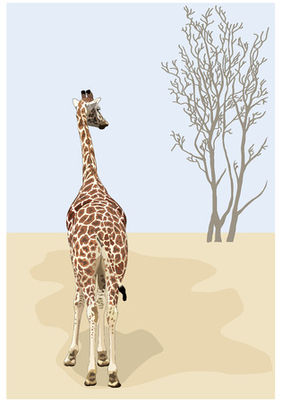 funny pictures: Beautiful giraffe looks at a dry tree in the desert.