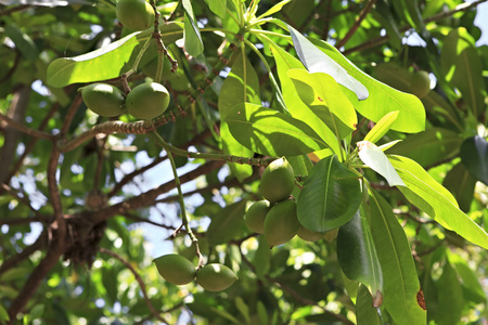 ladigue: Fruits of lime on a tree. Seychelles.