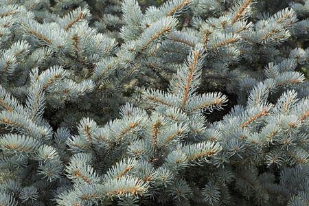 picea: Blue spruce the scientific name a Picea pungens Stock Photo
