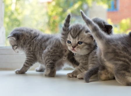 dreaminess: Beautiful small striped kittens on the window sill. Scottish Fold breed.