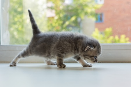 british pussy: Beautiful little tabby kitten on a window sill. Scottish Fold breed. Stock Photo