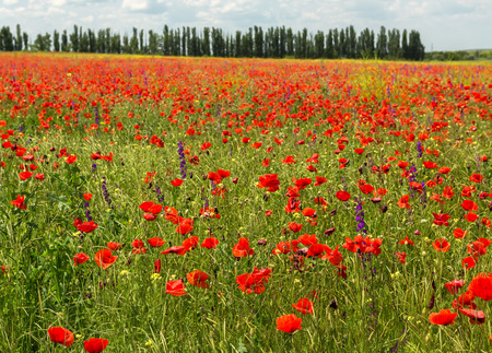 Blooming field of red poppies. Beautiful and rich nature of the Crimea.
