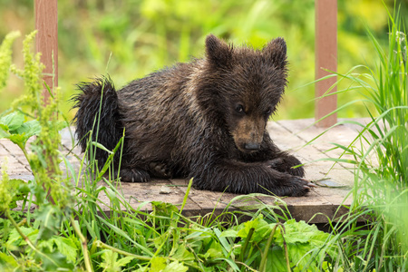 sopping: Small brown bear on bridge fence to account for fish. Kurile Lake in Southern Kamchatka Wildlife Refuge. Stock Photo