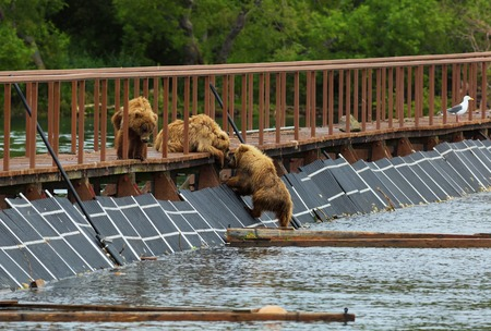 sopping: Three little brown bear cub on fence to account for fish. Kurile Lake in Southern Kamchatka Wildlife Refuge. Stock Photo