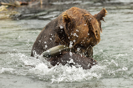 soggy: Brown bear trying to catch a fish on Kurile Lake. Southern Kamchatka Wildlife Refuge in Russia.