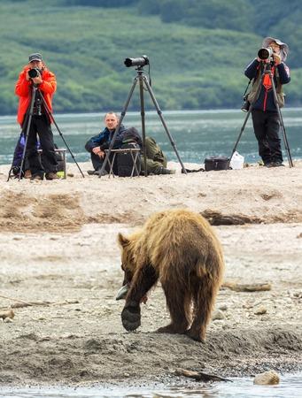 kuril: Kamchatka Peninsula, Russia - August 13, 2016: Photographers shoot a brown bear fishing. Kurile Lake in Southern Kamchatka Wildlife Refuge in Russia.