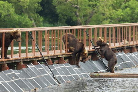 soggy: Three young brown bear on fence to account for fish. Kurile Lake in Southern Kamchatka Wildlife Refuge. Stock Photo