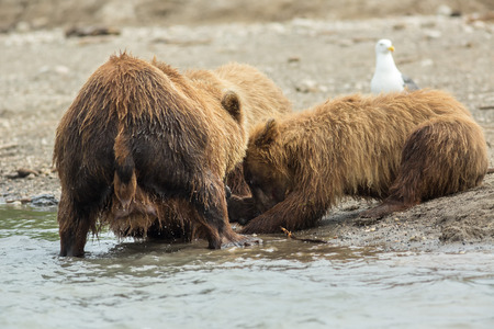 refuge: Brown bear divides caught fish with cubs. Kurile Lake in Southern Kamchatka Wildlife Refuge in Russia.