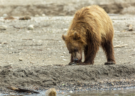 kuril: Brown bear eating fish seized from the mother. Kurile Lake in Southern Kamchatka Wildlife Refuge in Russia.