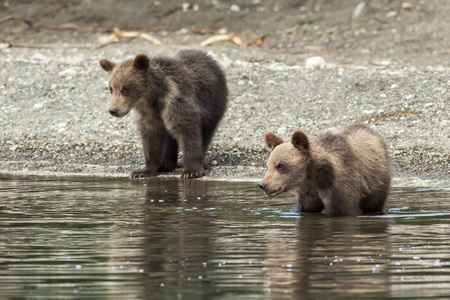 stands: Brown bear cubs on the shore of Kurile Lake. Southern Kamchatka Wildlife Refuge in Russia.