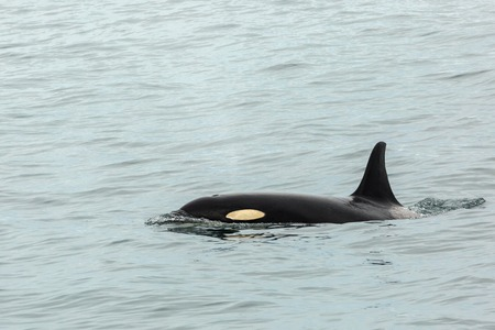 transient: Killer Whale - Orcinus Orca in the Pacific Ocean. Water area near Kamchatka Peninsula.