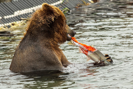 sopping: Brown bear eating a salmon caught in Kurile Lake. Southern Kamchatka Wildlife Refuge in Russia. Stock Photo