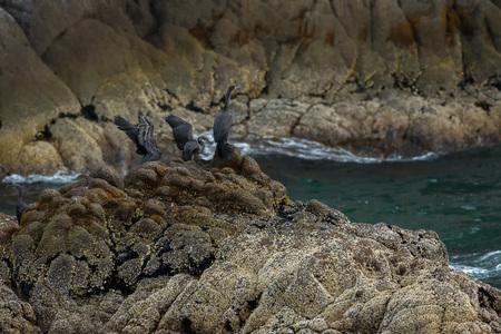 phalacrocoracidae: Pelagic cormorant nesting on the rocks in the Pacific Ocean. Stock Photo