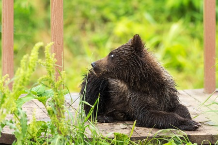 Small brown bear on bridge fence to account for fish. Kurile Lake in Southern Kamchatka Wildlife Refuge. Stock Photo