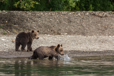sopping: Brown bear cubs on the shore of Kurile Lake. Southern Kamchatka Wildlife Refuge in Russia.