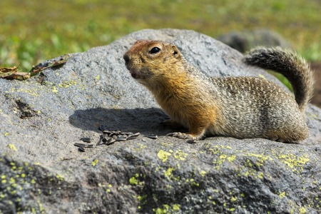 Arctic ground squirrel eating seeds on the rock. Kamchatka. Stock Photo