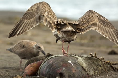 Pacific Gull eating a dead seal on the beach. Stock Photo