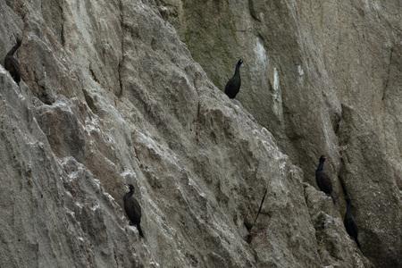 maneuverable: Pelagic cormorant nesting on the rocks in the Pacific Ocean. Stock Photo